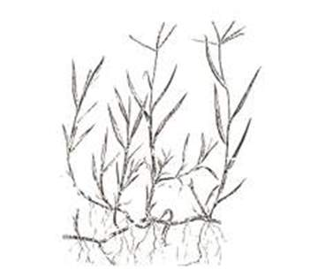 Picture of Seme da prato Gramigna Gentile