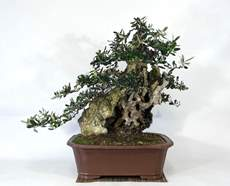 Picture for manufacturer BONSAI OLIVO