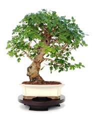 Picture for manufacturer BONSAI GELSO