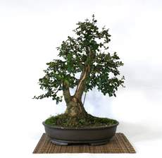 Picture for manufacturer BONSAI PHILLYREA