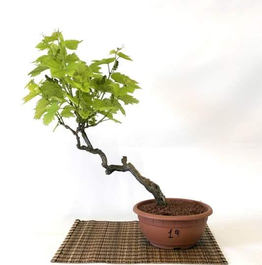 Picture of Bonsai Yamadori di Vite (19)