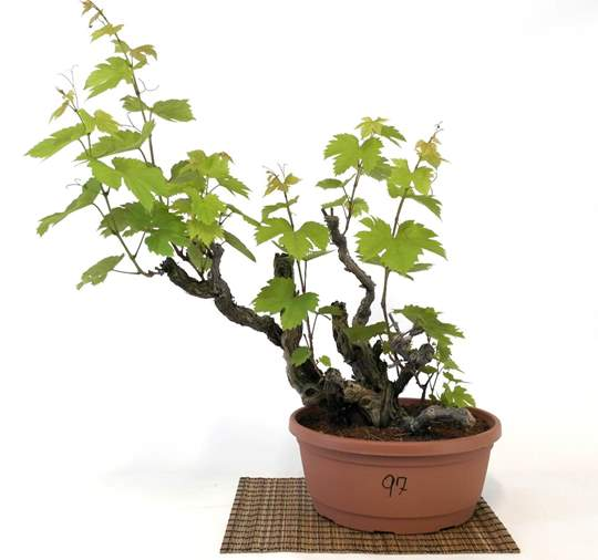 Picture of Bonsai Yamadori di Vite (97)