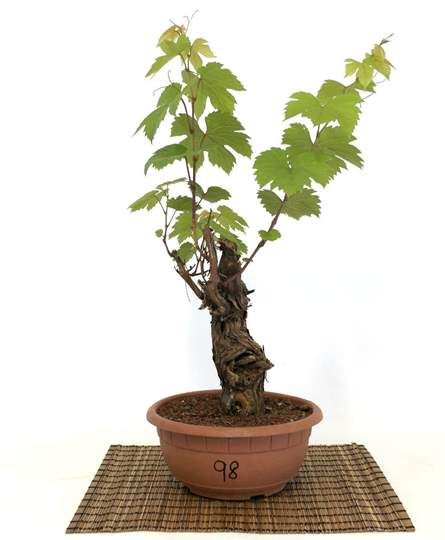 Picture of Bonsai Yamadori di Vite (98)