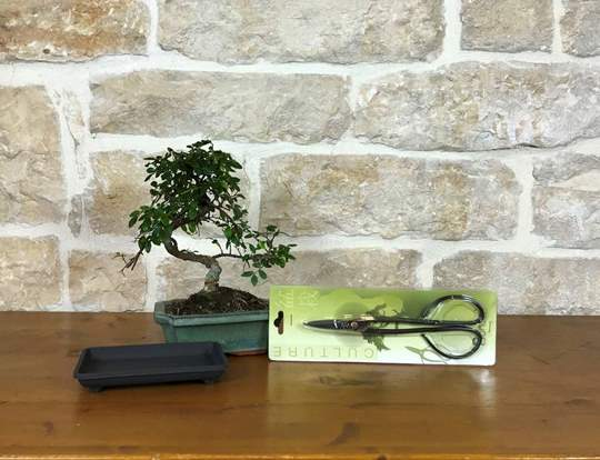 Picture of Kit Bonsai per Principiante -  Bonsai Olmo Cinese, sottovaso e Forbice