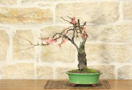Immagine di Bonsai di Cotogno Giapponese (9)