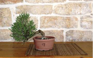 Picture of Bonsai Yamadori di Timo (8)