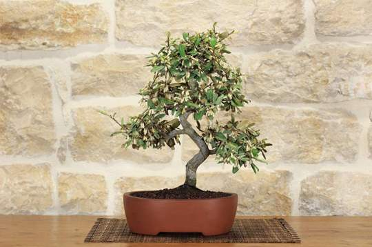 bonsai elaeagnus
