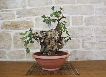 bonsai yamadori carrubo