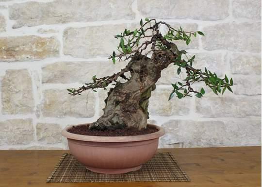 bonsai yamadori mirto