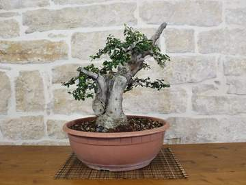 bonsai yamadori olivastro