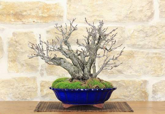 bonsai corniolo