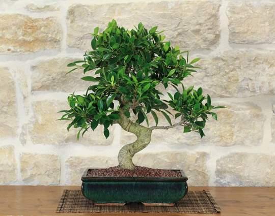 bonsai retusa