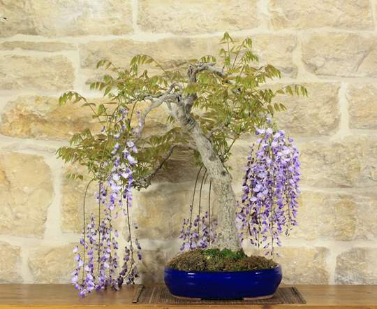 Picture of Japanese Wisteria bonsai tree (12)