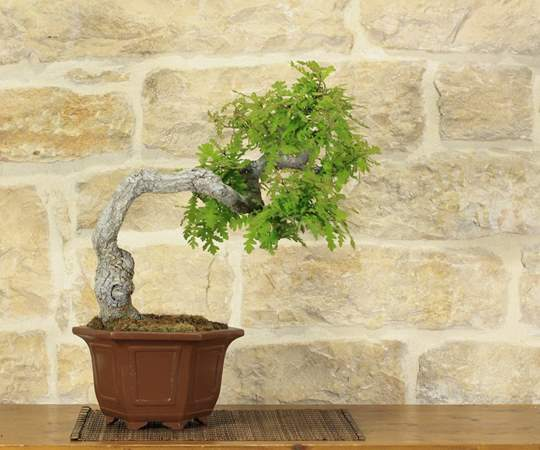 Bonsai Quercia Roverella
