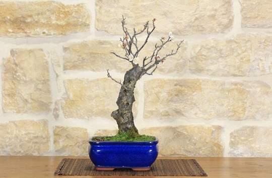 bonsai albicocco giapponese