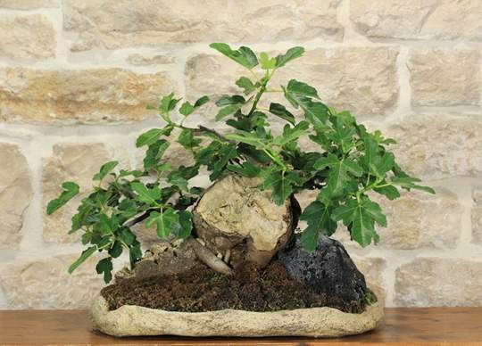 bonsai fico