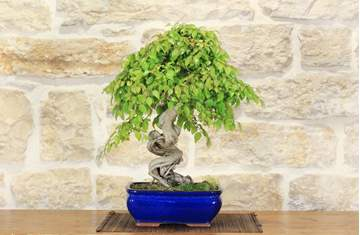 Picture of Hornbeam bonsai tree (10)