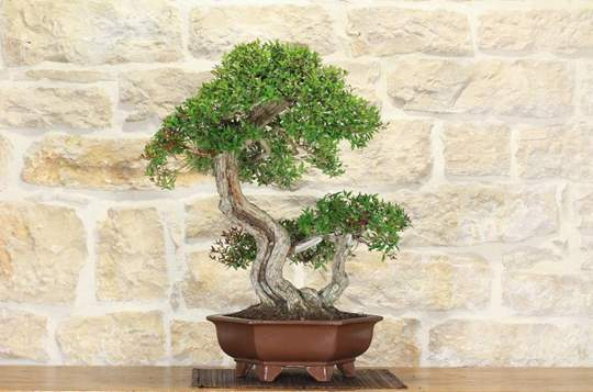 Picture of Myrtle bonsai tree (24)