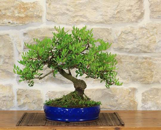 Bonsai Lentisco