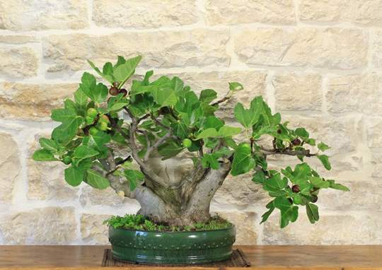 Picture of Common Fig bonsai tree (42)