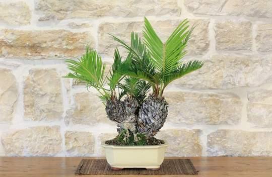 bonsai cycas revoluta