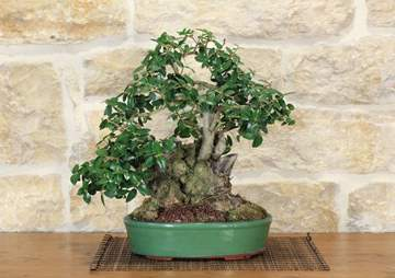 bonsai phillyrea