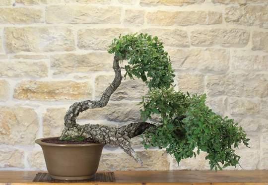 bonsai quercia cerro