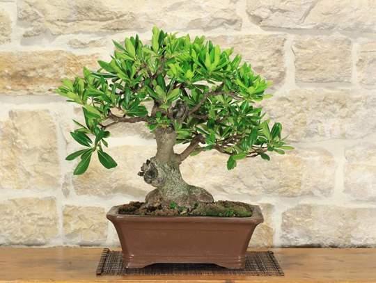 bonsai pittosforo