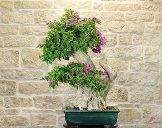 bonsai bougainvillea sanderiana