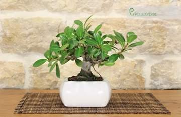 bonsai ficus panda