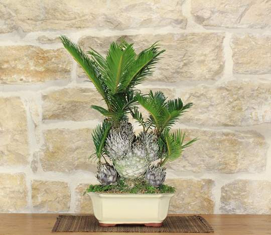 bonsai cycas