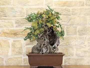 bonsai carrubo