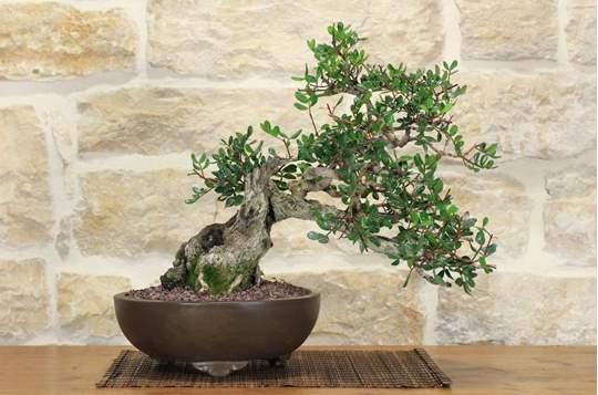 bonsai lentisco