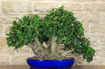 bonsai ficus australis