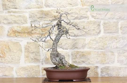 bonsai quercia roverella