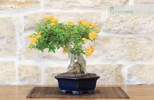 bonsai lantana