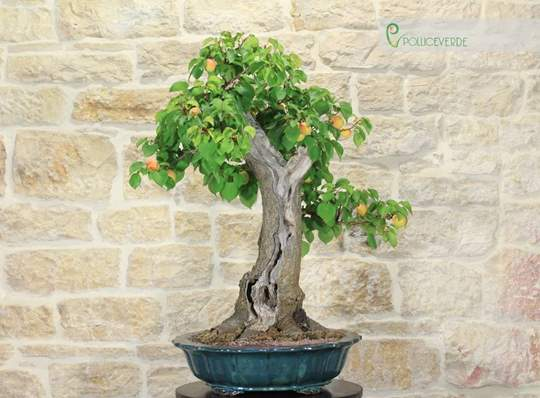 Bonsai Albicocco