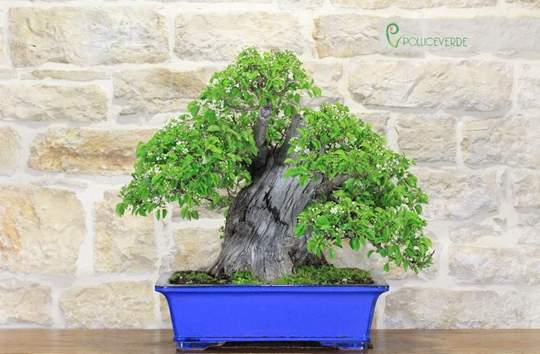 Picture of Wild Cherry Yamadori bonsai tree (1)