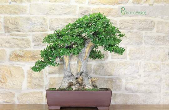 bonsai phyllirea