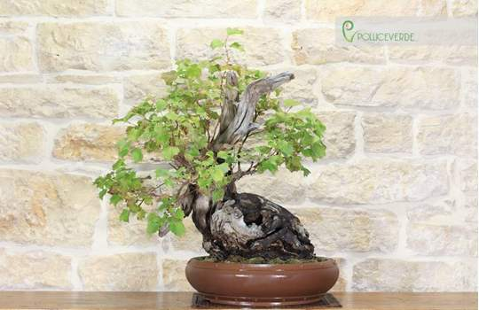 bonsai vite selvatica