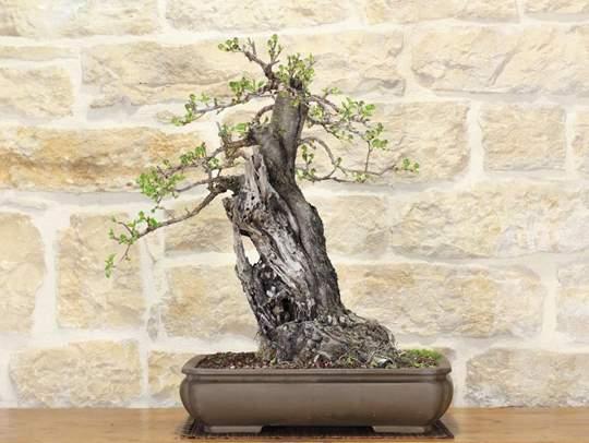 Picture of Wild Cherry bonsai tree (102)