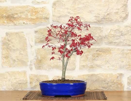bonsai acero deshojo