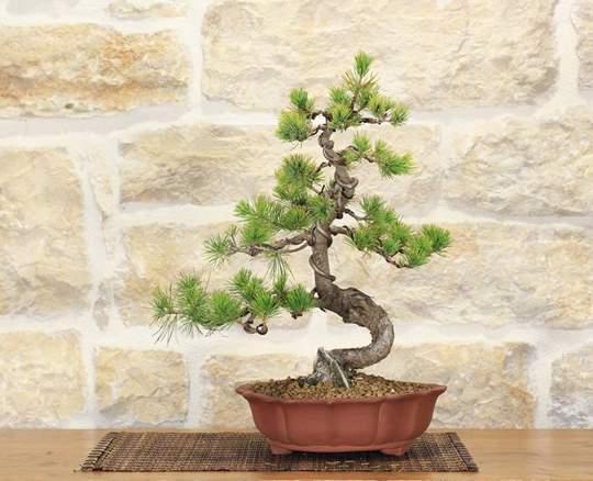 bonsai pino