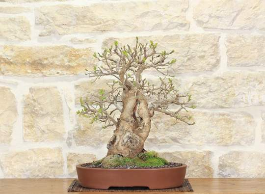 bonsai gelso
