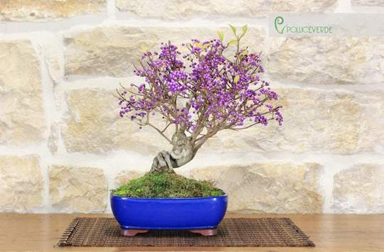 Picture of Weigelia bonsai tree (3)