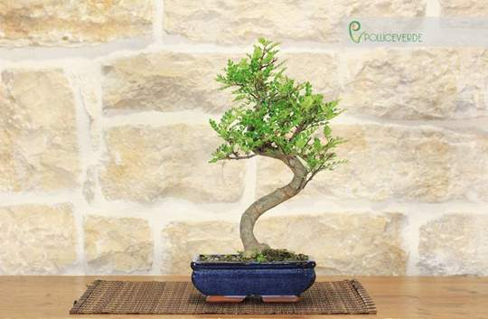 bonsai pepper