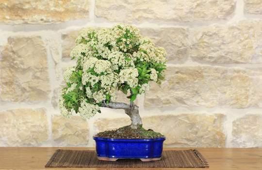 bonsai pyracantha coccinea