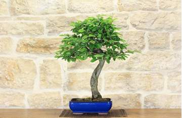 bonsai carpino