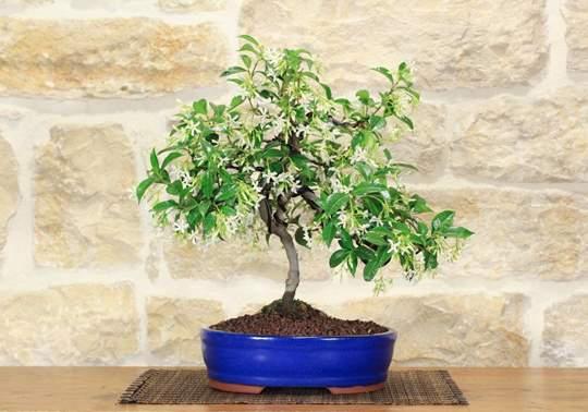 bonsai gelsomino