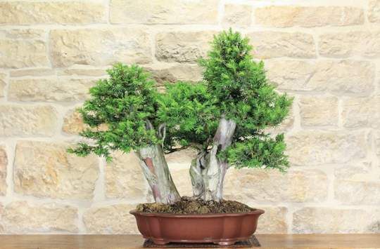 bonsai tasso